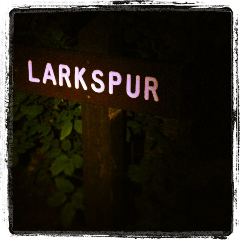Larkspur at night 2013
